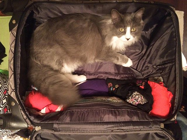 YOU SHALL NOT PACKKKK! Little does she know she's going with me this time... tour starts tomorrow! 🐱 #meera #tourkitty *  6/12 - @wdvx @jigandreel  6/13 - @isisasheville  6/14 - @thestationcarrboro  6/15 - #turnageTheater  #catsofinstagram