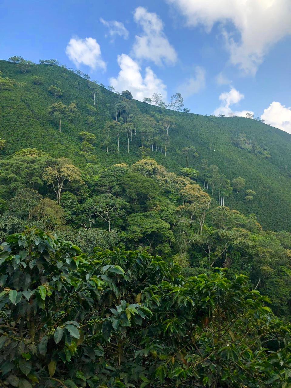 jerico hillside, full of arabica beans, smt.com