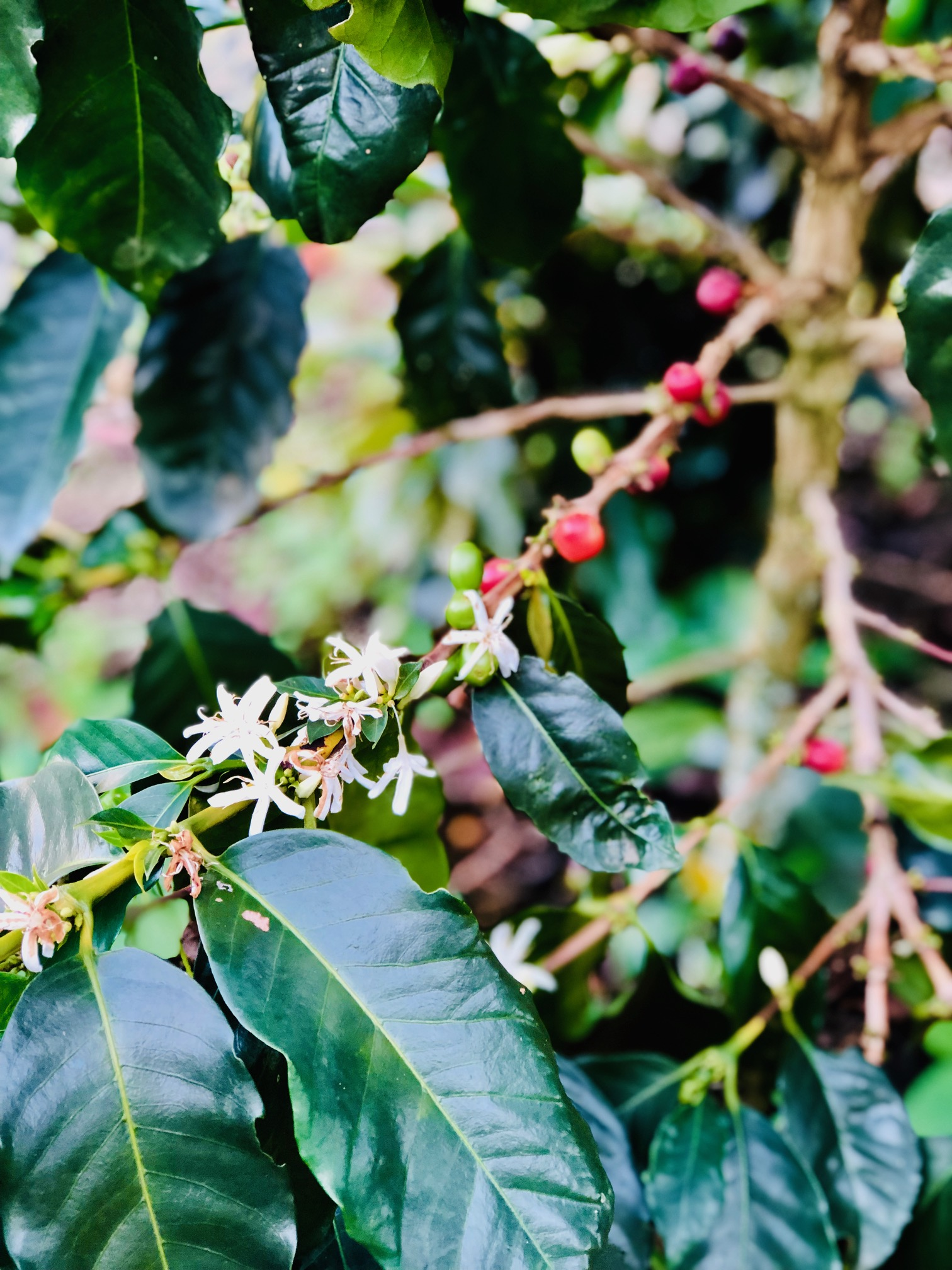 Endemic plant: COFFEE COFFEE EVERYWHERE, Colombia 2019 (SMT.com)