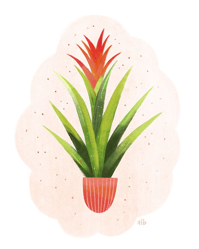 Right plant, wrong place. I was chatting with my friend yesterday and this came up in regards to how we both have been feeling - in need of some change 😊. This #illustration is of a bromeliad - a friendly (naturally tropical) houseplant - and I've decided it's my spirit plant today. It just needs a bright sunny spot inside to thrive. Swipe for the #process video! #bromeliad #flower #procreateart #procreate #ipadproart