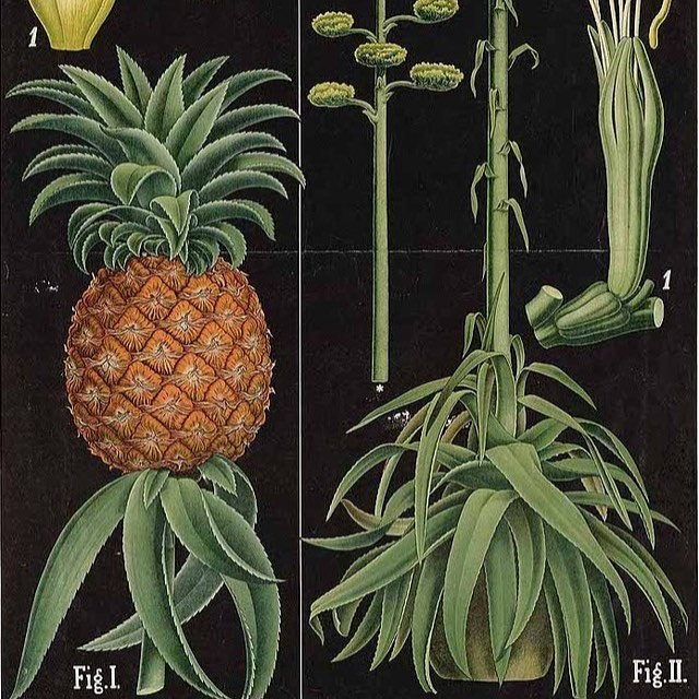"""""""Pineapple and Agave"""" 1877  #pineapple  #agave  #oldillustrations  #botony  #science"""