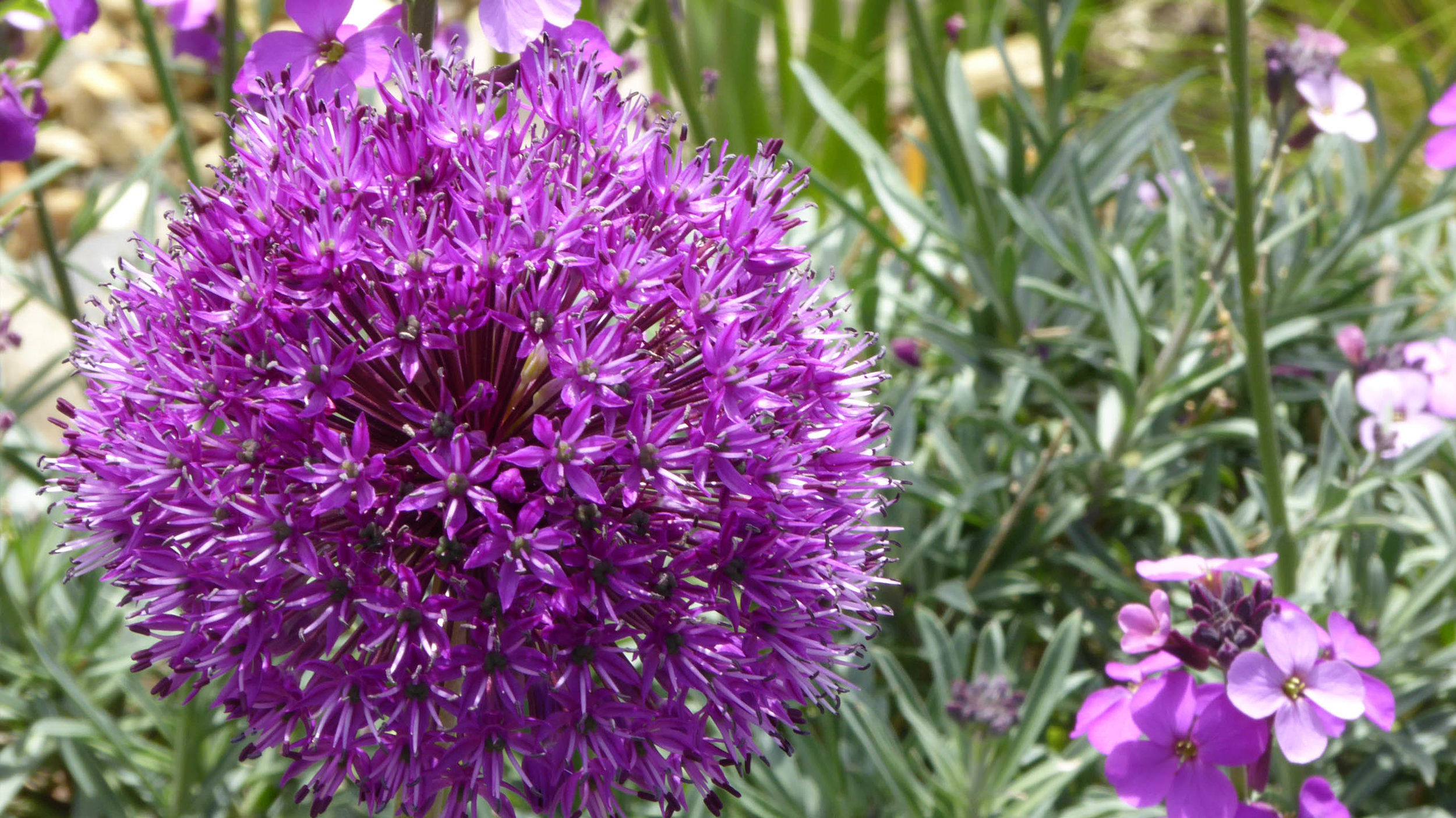 Cheshire Garden Design: Interlocking Curves and Acer (Front Garden) Allium 'Purple Sensation'