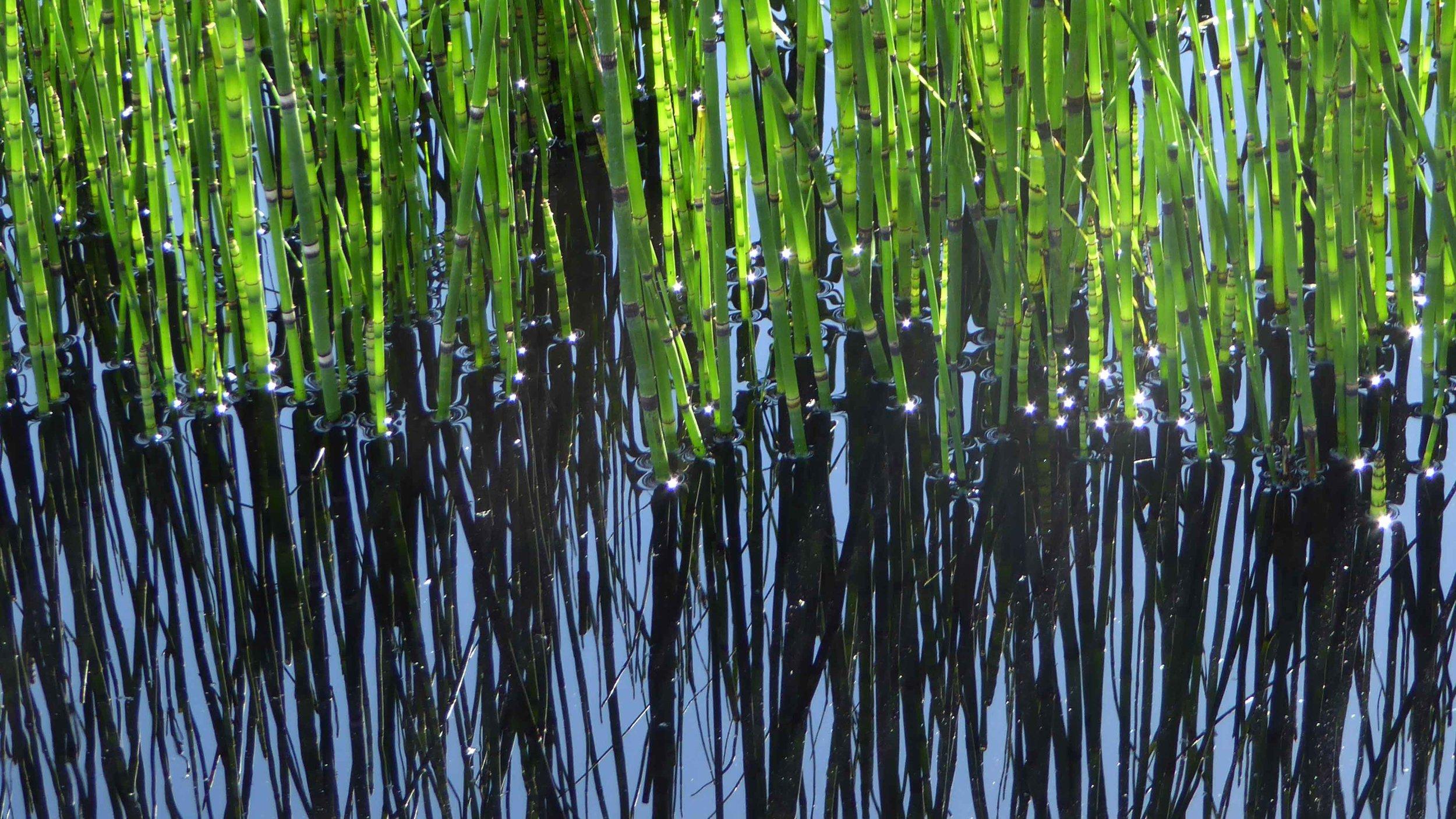 Southport Garden Design: Kuro: Equisetum hyemale In Black Pool