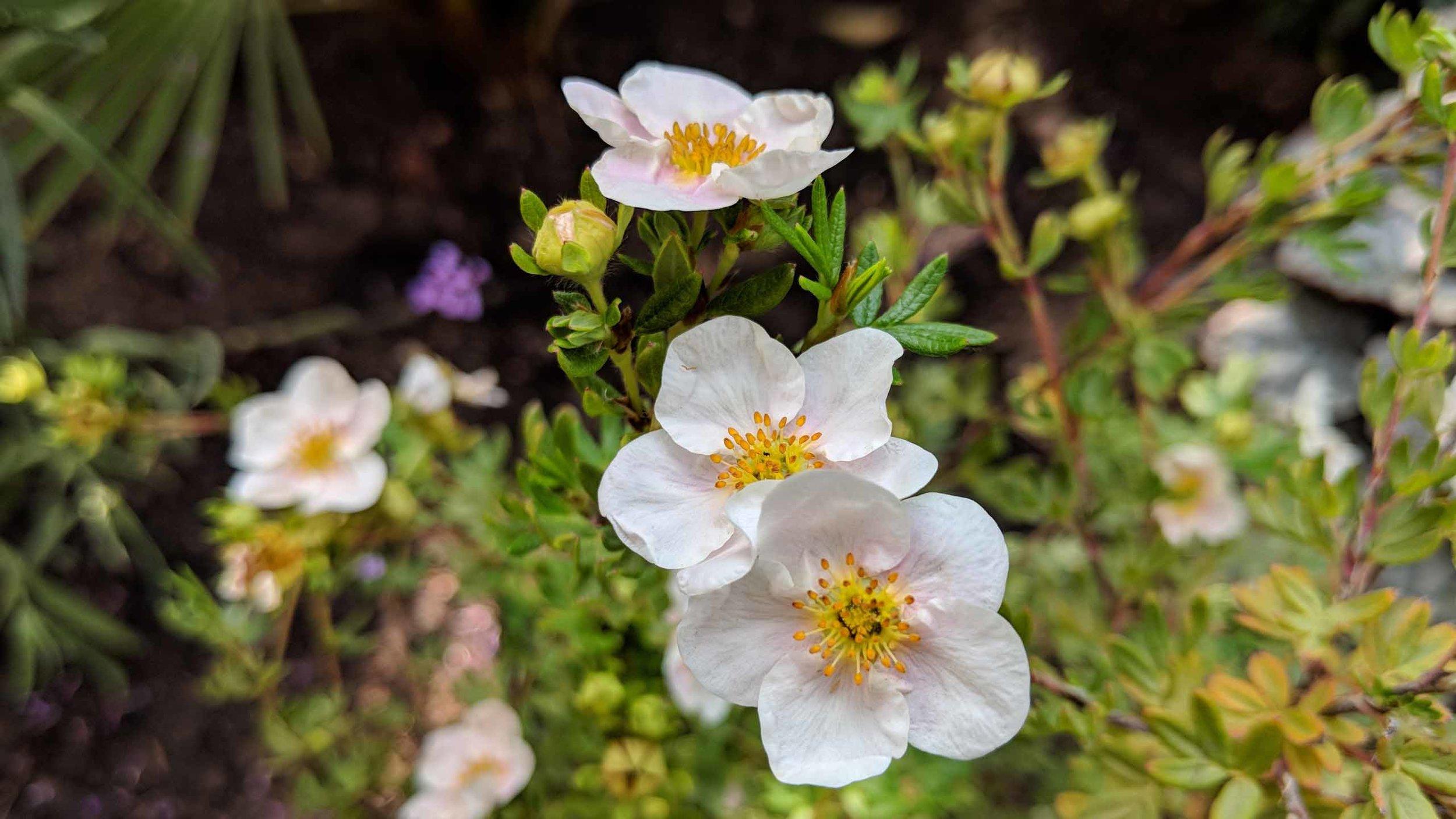 Cheshire Garden Design: Japanese garden: Potentilla fruticosa 'Abbotswood'