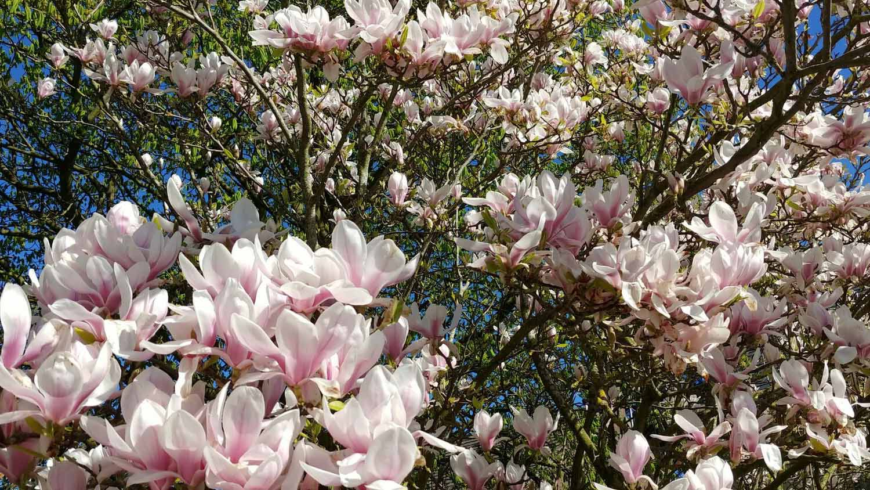 Cheshire Garden Design: The Sun And Shade Garden: Magnolia In Flower