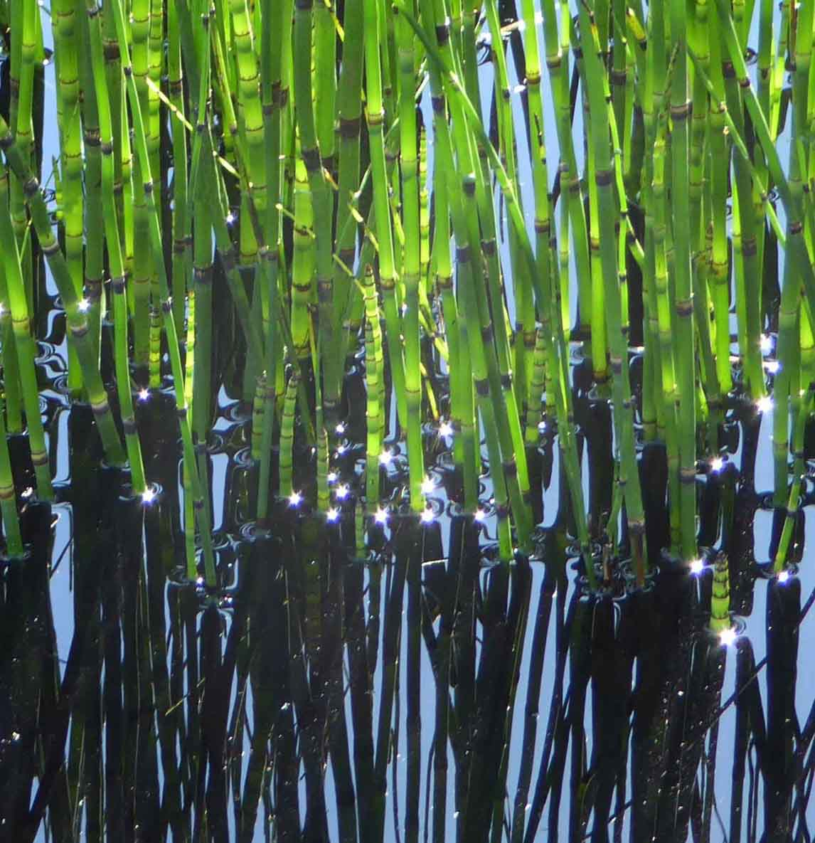 Equisetum hymale with water reflection