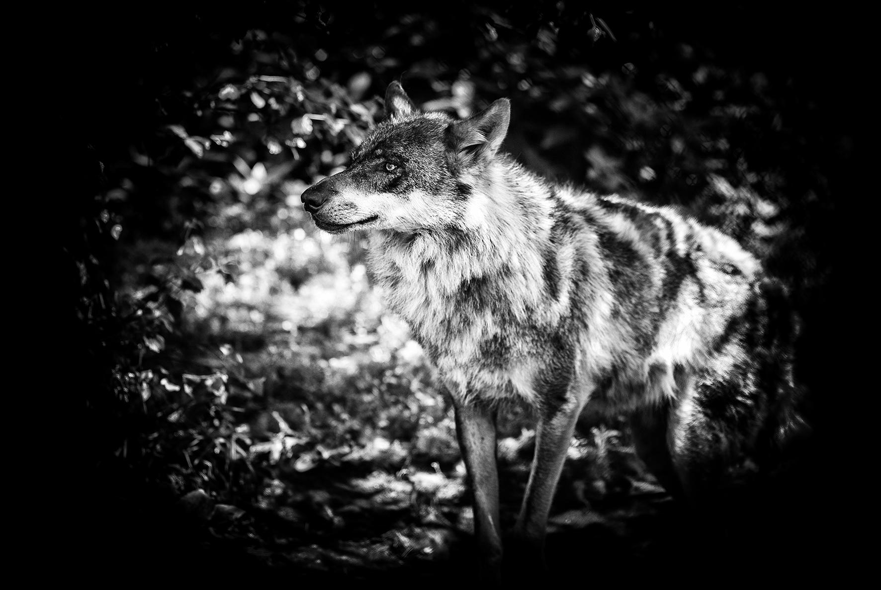 wolf-06062016-4614-2.jpg