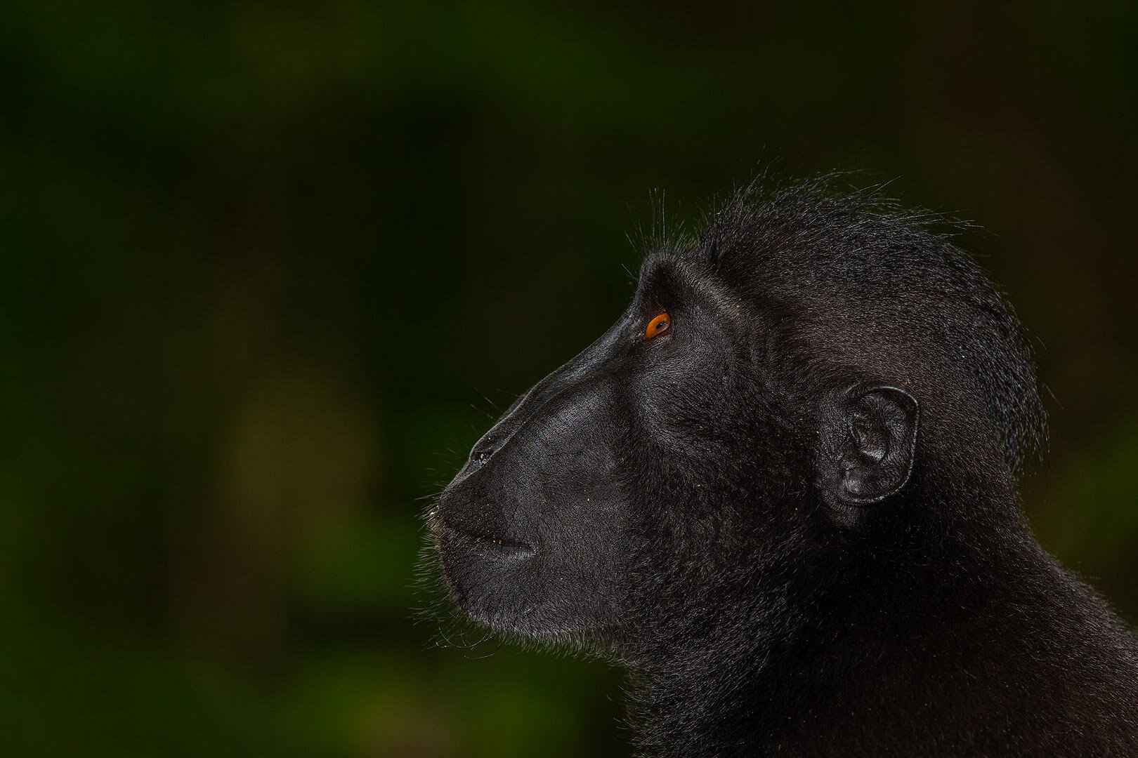 Black-crested-macaque-looking-up-3437-copy.jpg