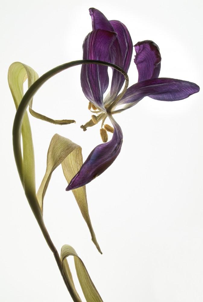 Tanz der Tulpen | Anna Halm Schudel