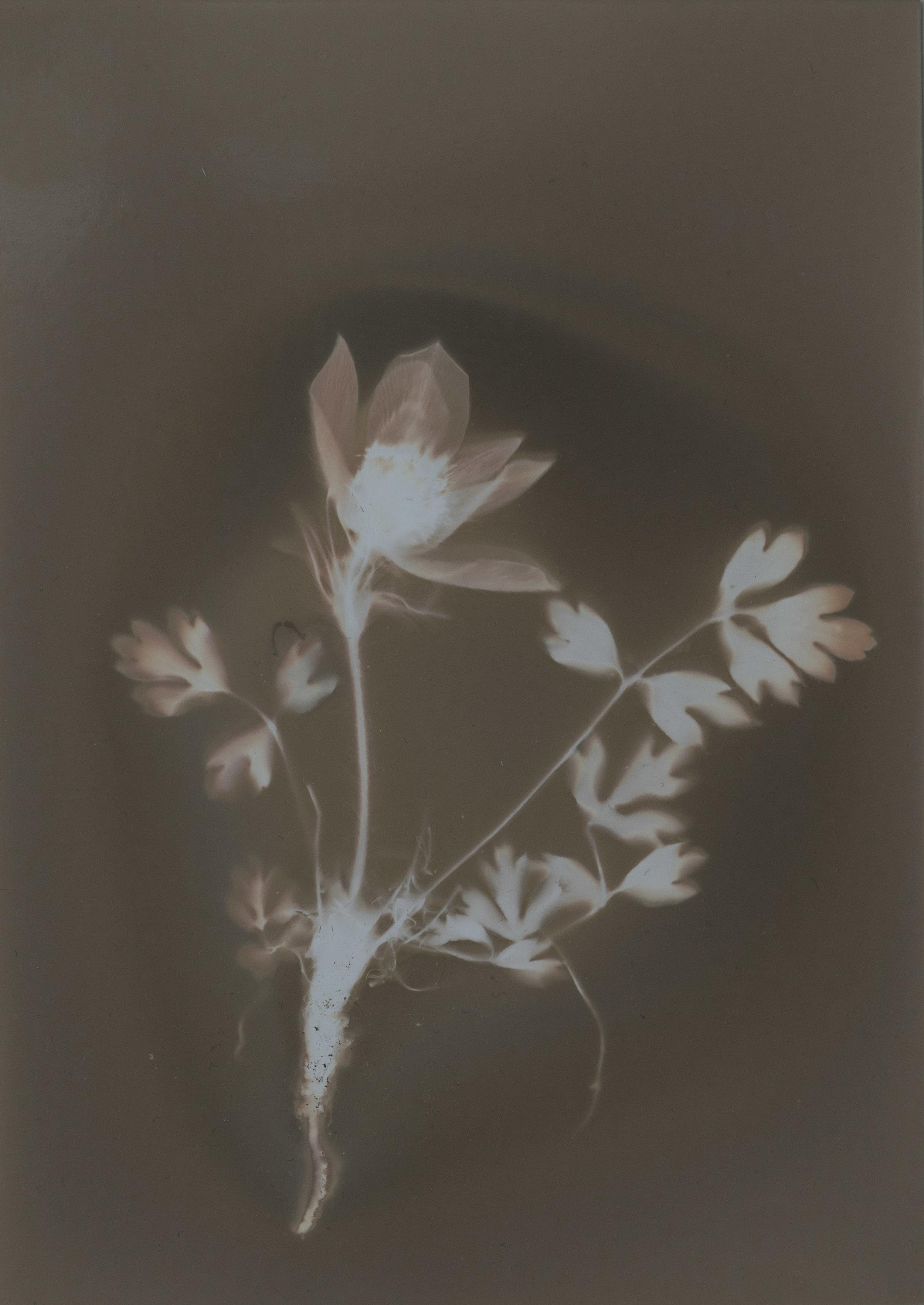 Pulsatilla vernalis (Pelzanemone) | Denise Haschke