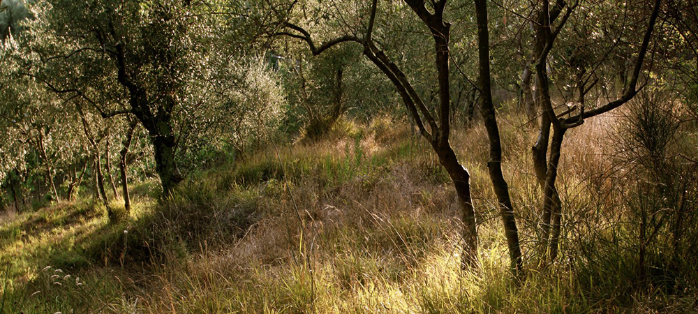 Olive Orchard Luca, Italy