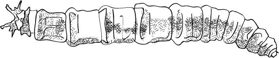 Tipulidae - Aquatic Cranefly Larvae