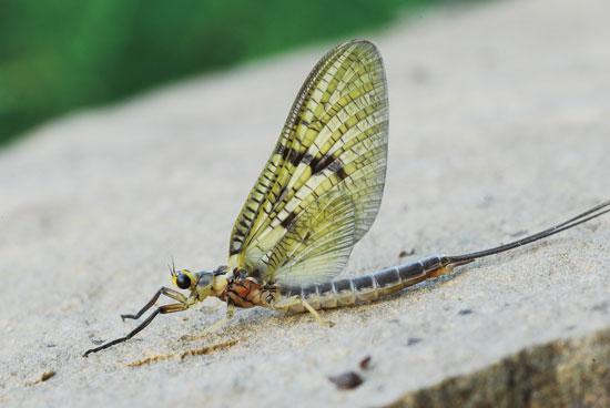 Eastern-Green-Drakes-Fly-Fisherman.jpg