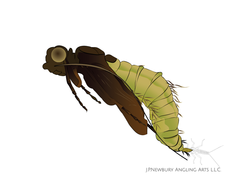 Caddis Pupa Illustration by John Newbury