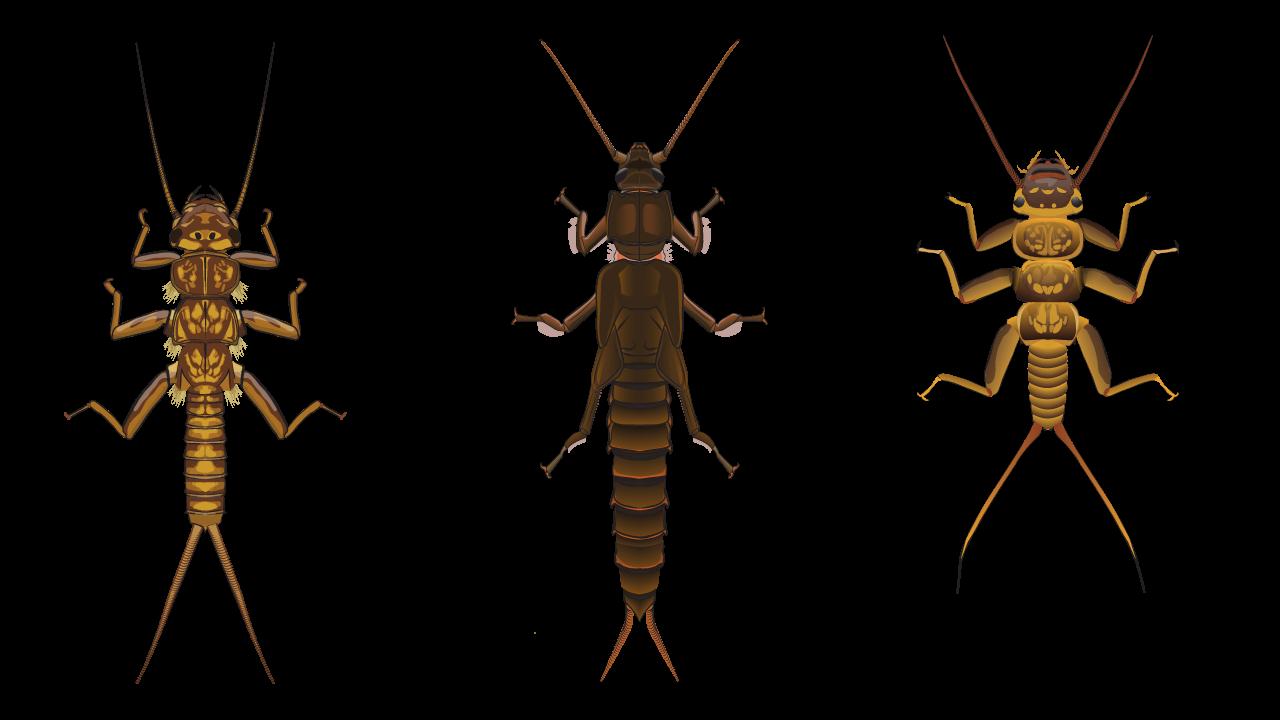 Stonefly Shapes