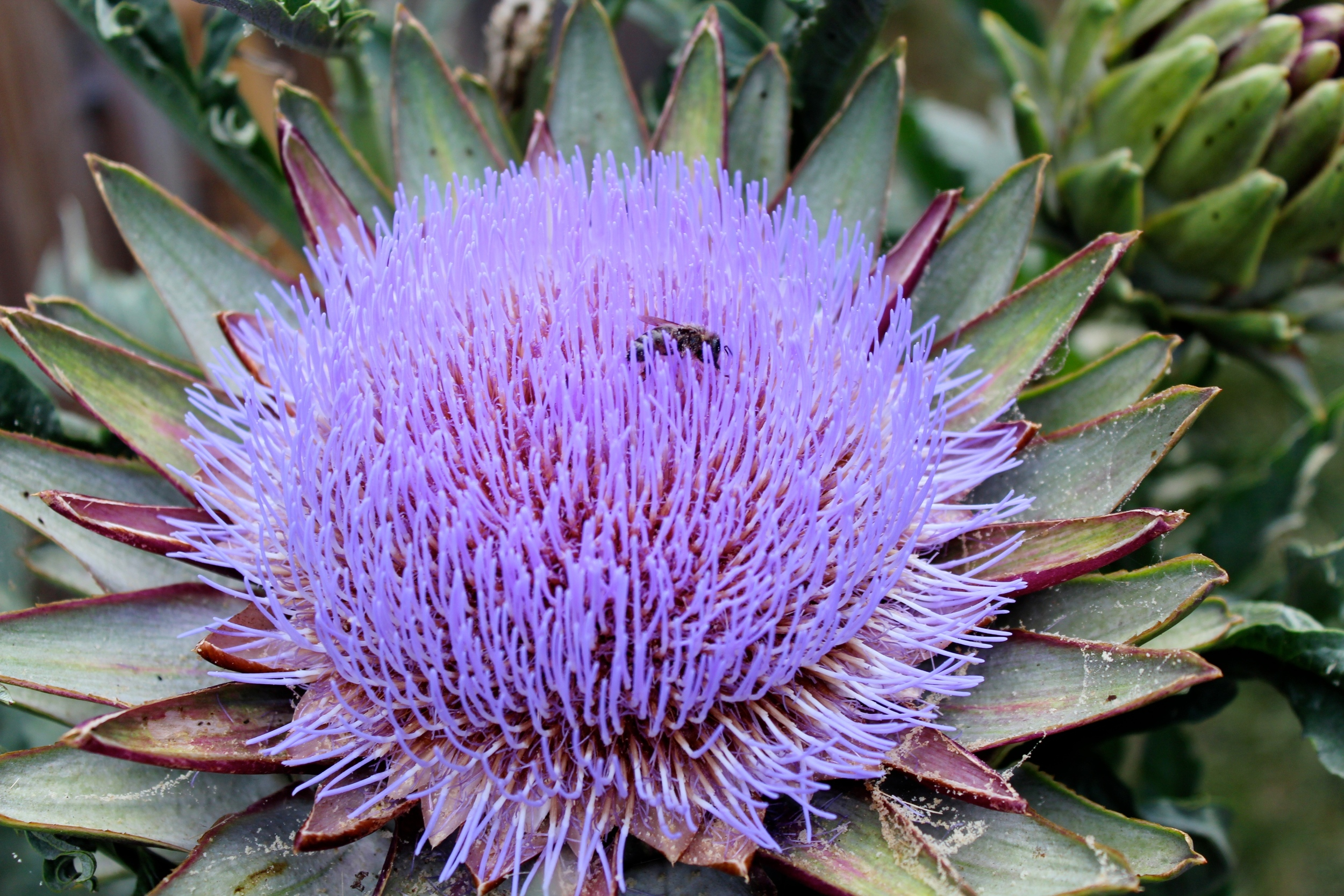 Bee in artichoke flower, Oakland, 2014