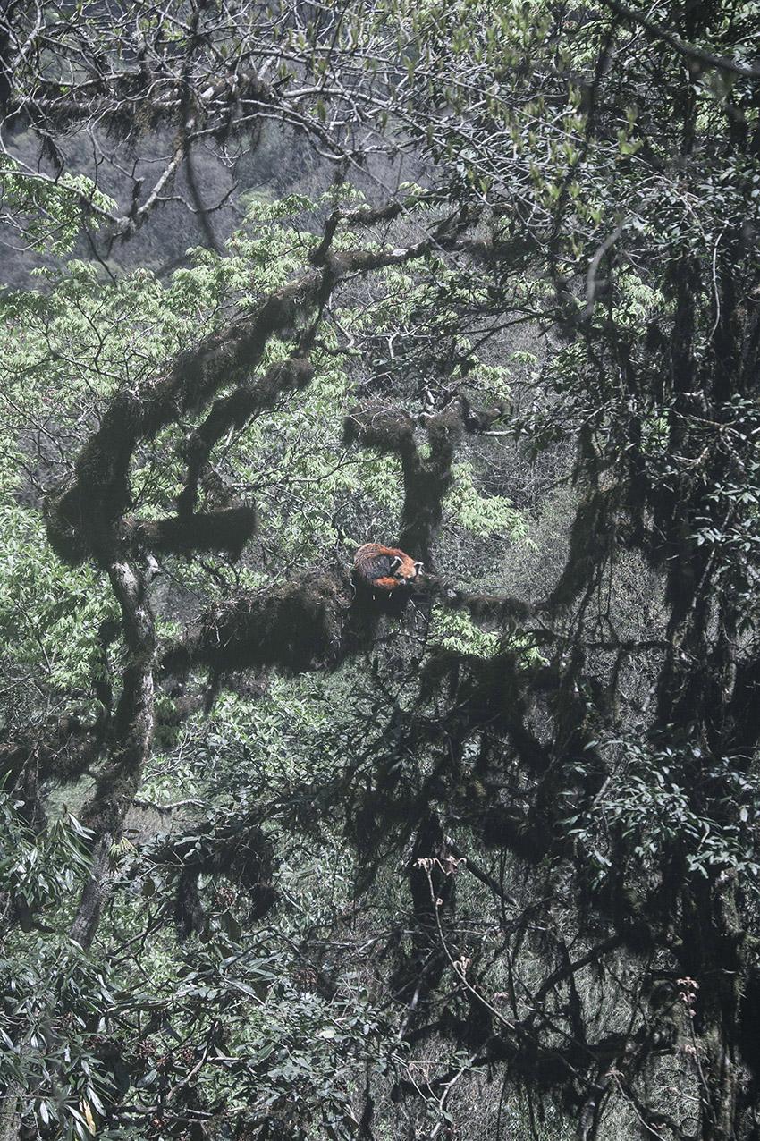 red panda roux mazille wildlife photographer arte aventures en terre animale 2.jpg