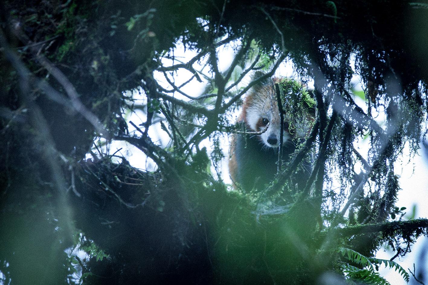 red panda roux mazille wildlife photographer arte aventures en terre animale 6.jpg