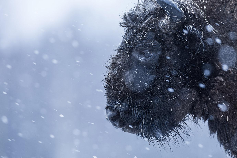 mazille wildlife photographer animalier aventure en terre animale bison 06.jpg