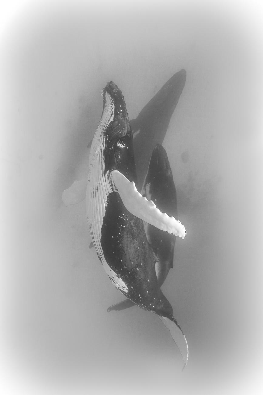 mazille whale rurutu polynésie le vol des sorcières baleine.jpg