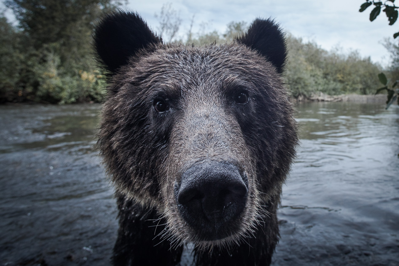 mazille grizzly wildlife photographer nature canada.jpg