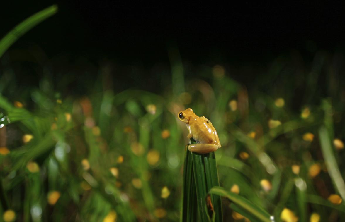 Toutes les petites tâches jaunes, sont des minutus, de petites grenouilles habituellement marrons qui changent de couleur jaune flashy le temps des amours