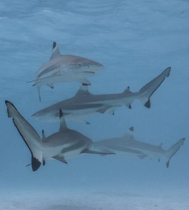 Les pointes noires vivent dans le lagon. Une fois fléché le poisson doit être remonté rapido et jetédans un bac pour éviter les attaques de requins.