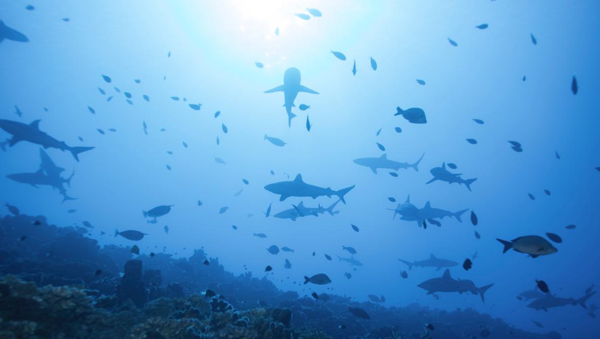 Il est 6h du mat, le courant est puissant, on rejoint le fond pour éviter de se faire emporter. Les requins eux en profitent pour planer au dessus du corail.
