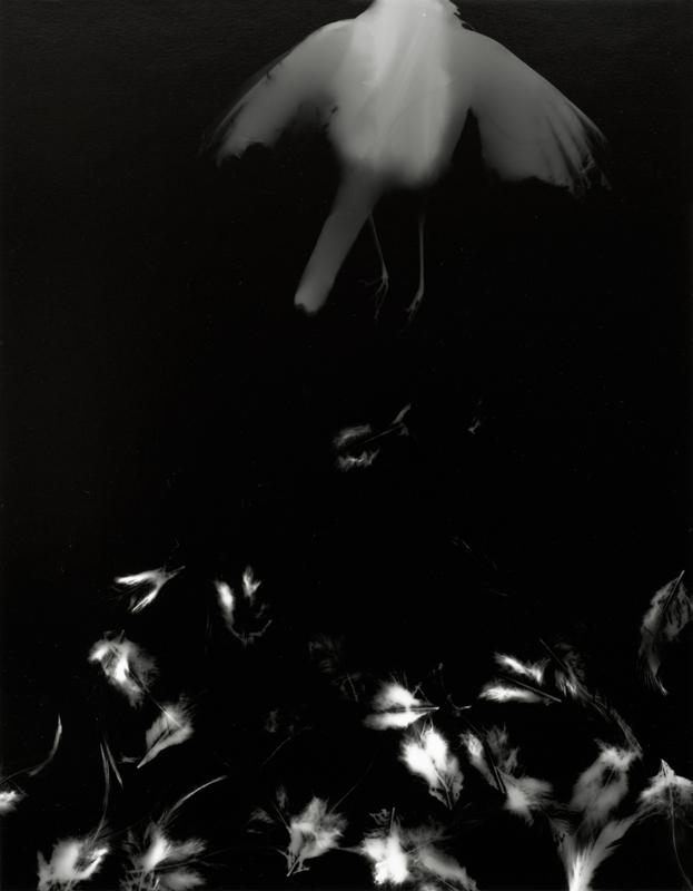 Photogrammes ( grive, variante 4 )  Épreuve à la gélatine argentique  36 x 28 cm