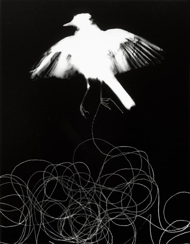 Photogrammes ( grive, variante 2 )  Épreuve à la gélatine argentique  36 x 28 cm