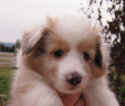 """Sable Merle Male """"Dash"""" has moved to Sammamish with Tina and Family"""