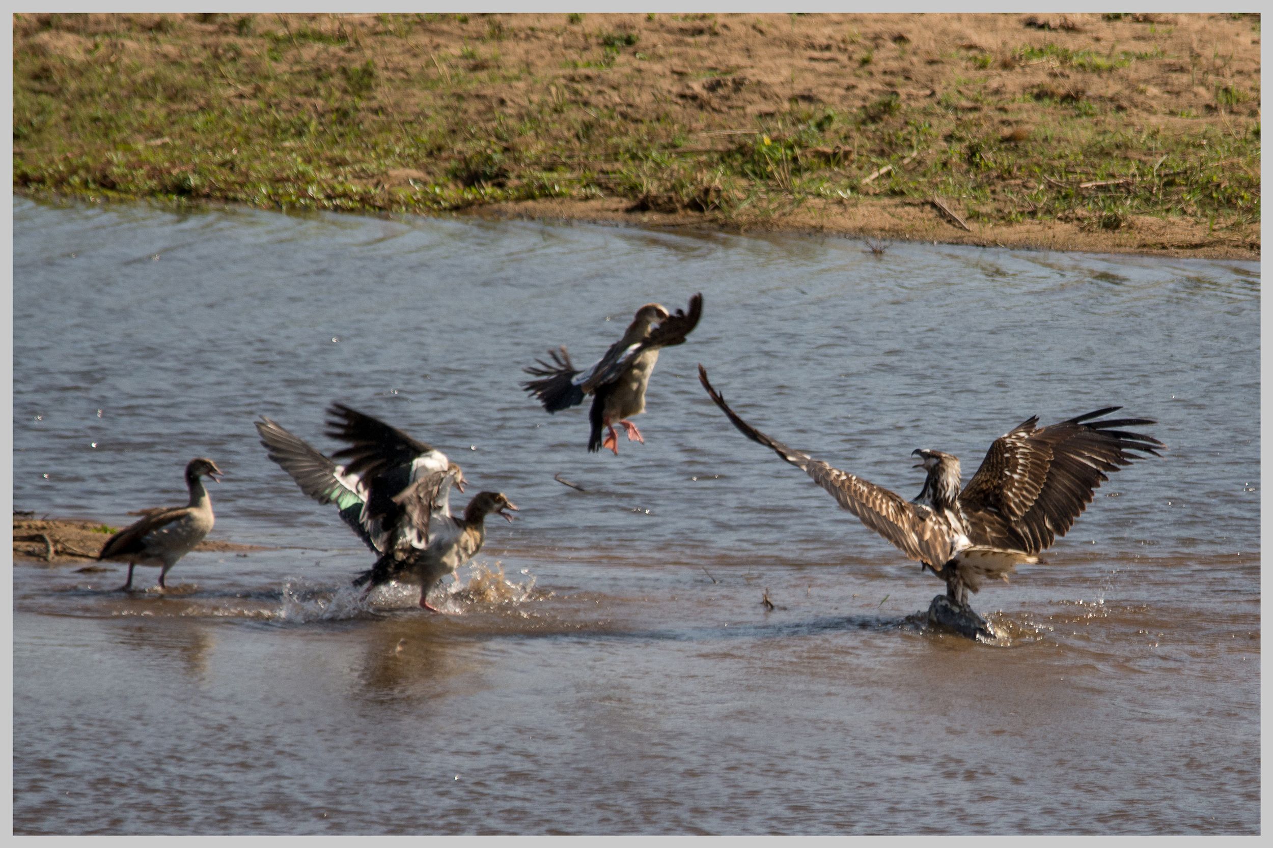 Juvenile African Fish Eagle protecting it's catch from Egyptian Geese