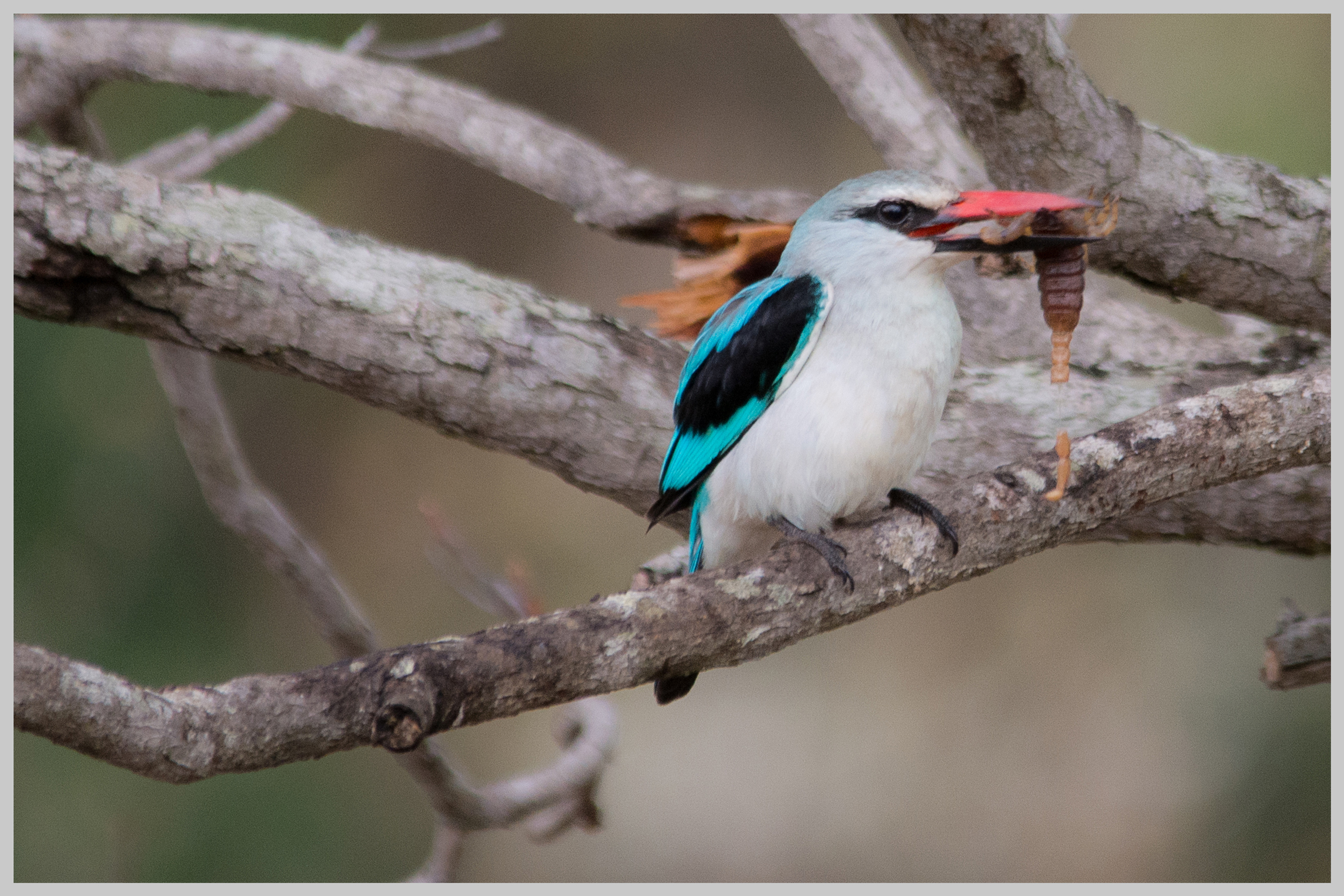 Woodland Kingfisher eating a scorpion