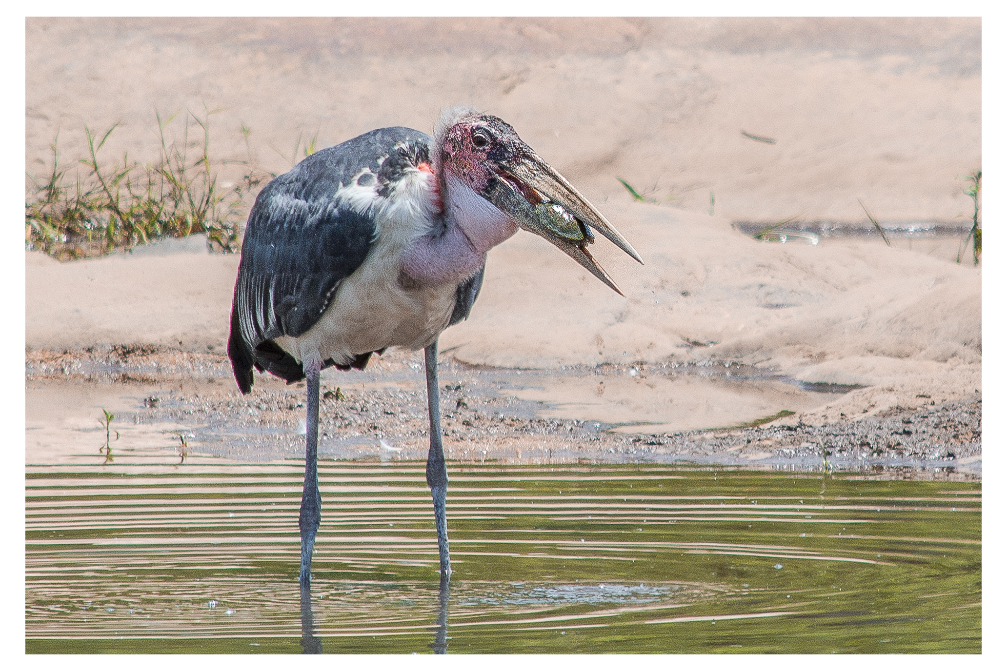 Maribou Stork trying to eat a turtle