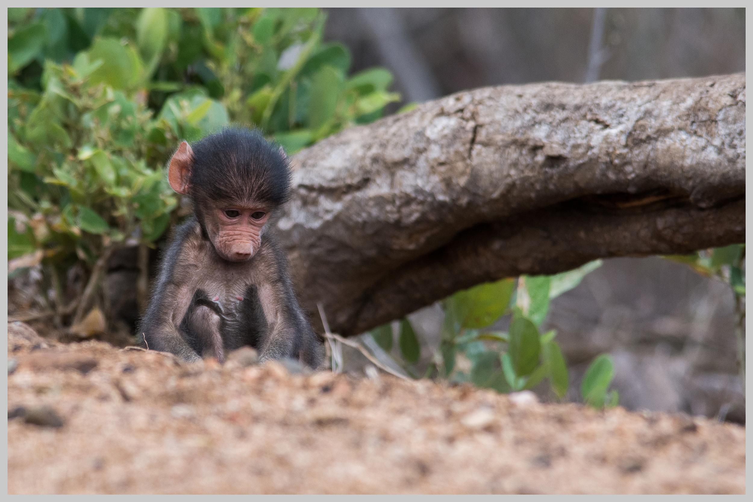 Baby Chacma Baboon