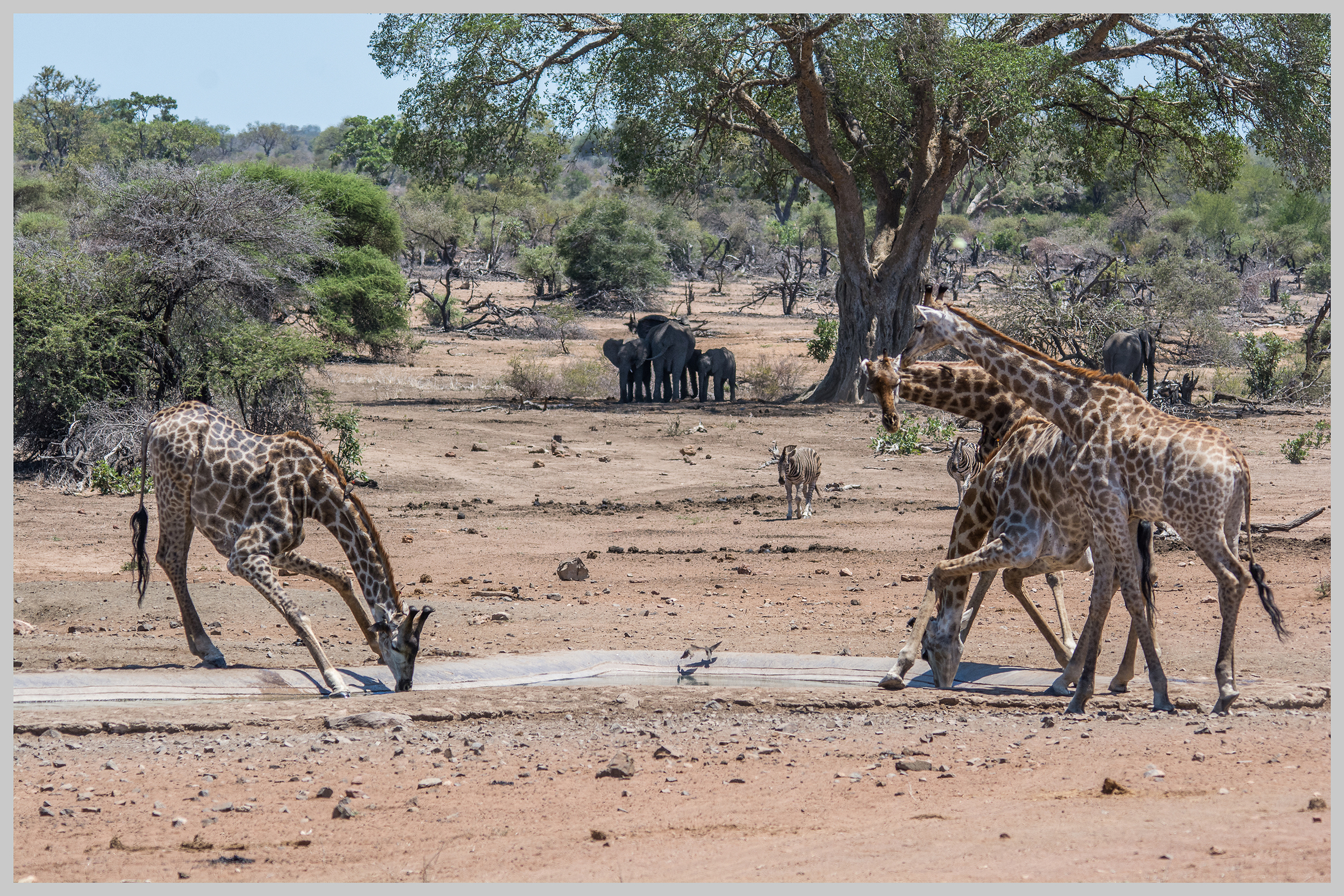 Giraffe, Zebra and African Elephant