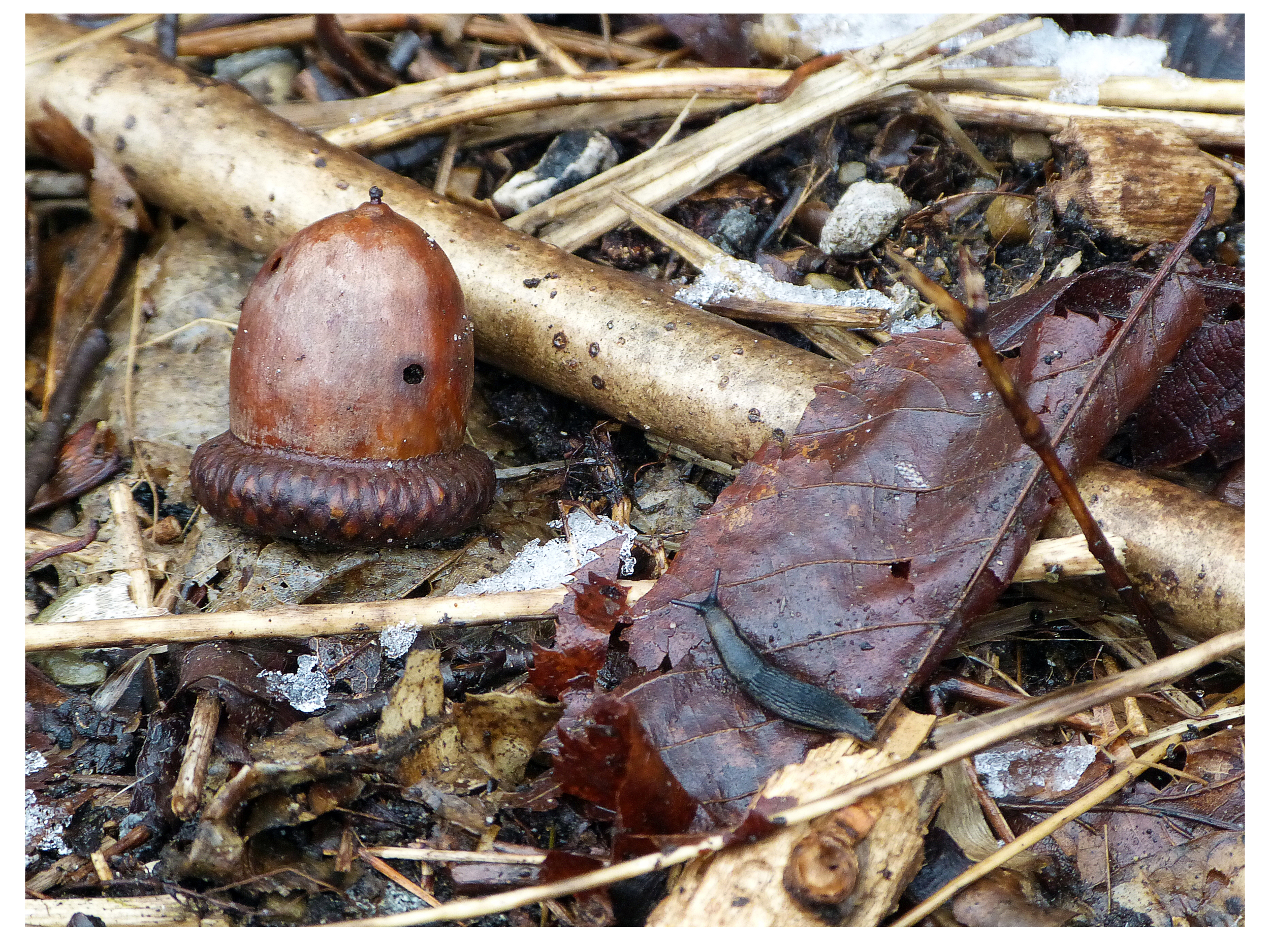 The slug and the acorn.jpg