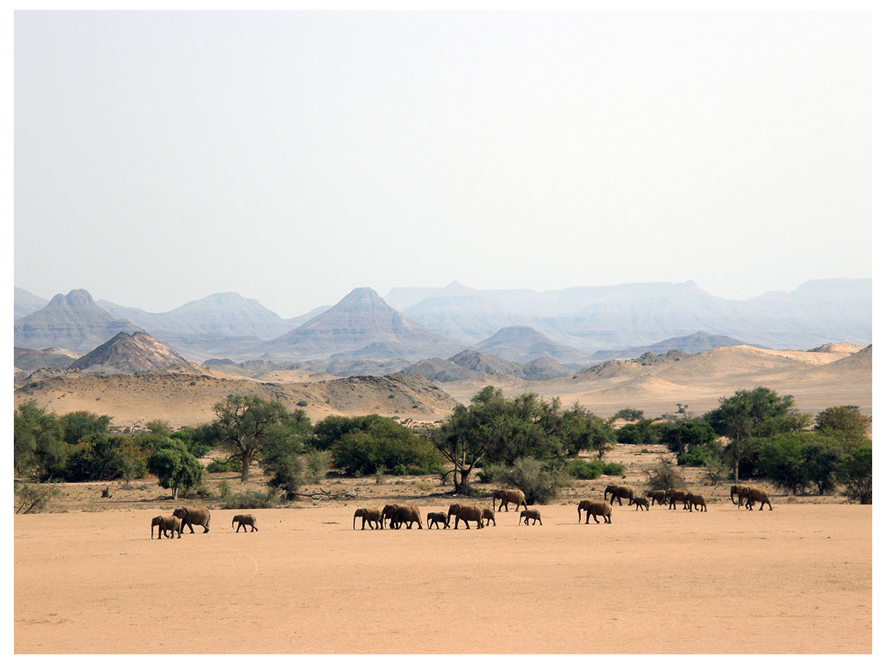 Desert adapted elephants