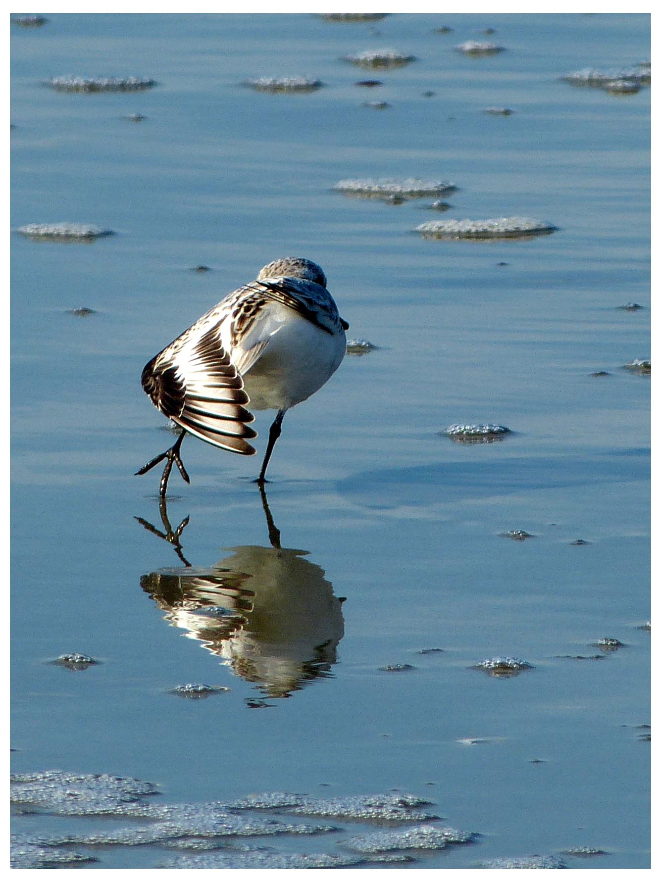 Sanderling?