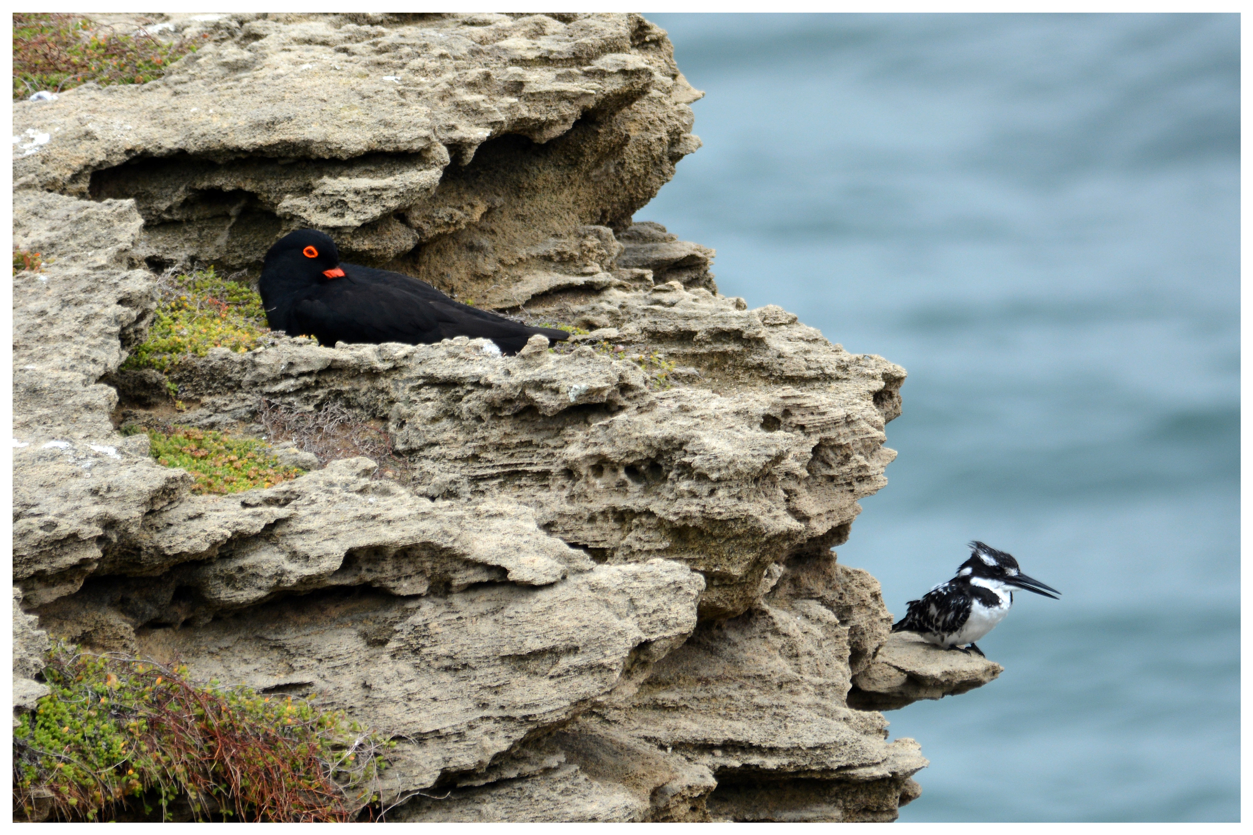 African Black Oystercatcher and Pied Kingfisher