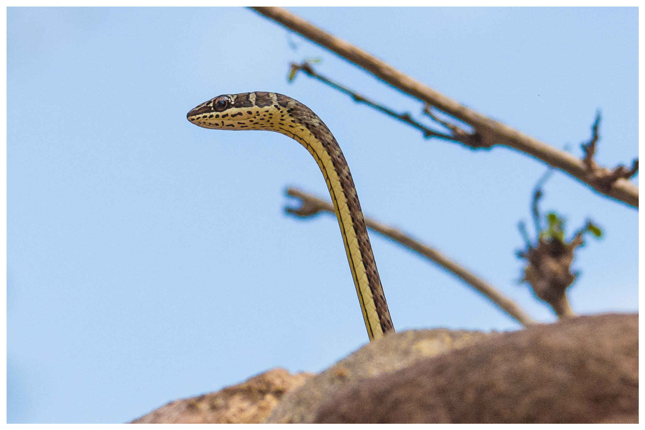 Yellow Bellied Sand Snake
