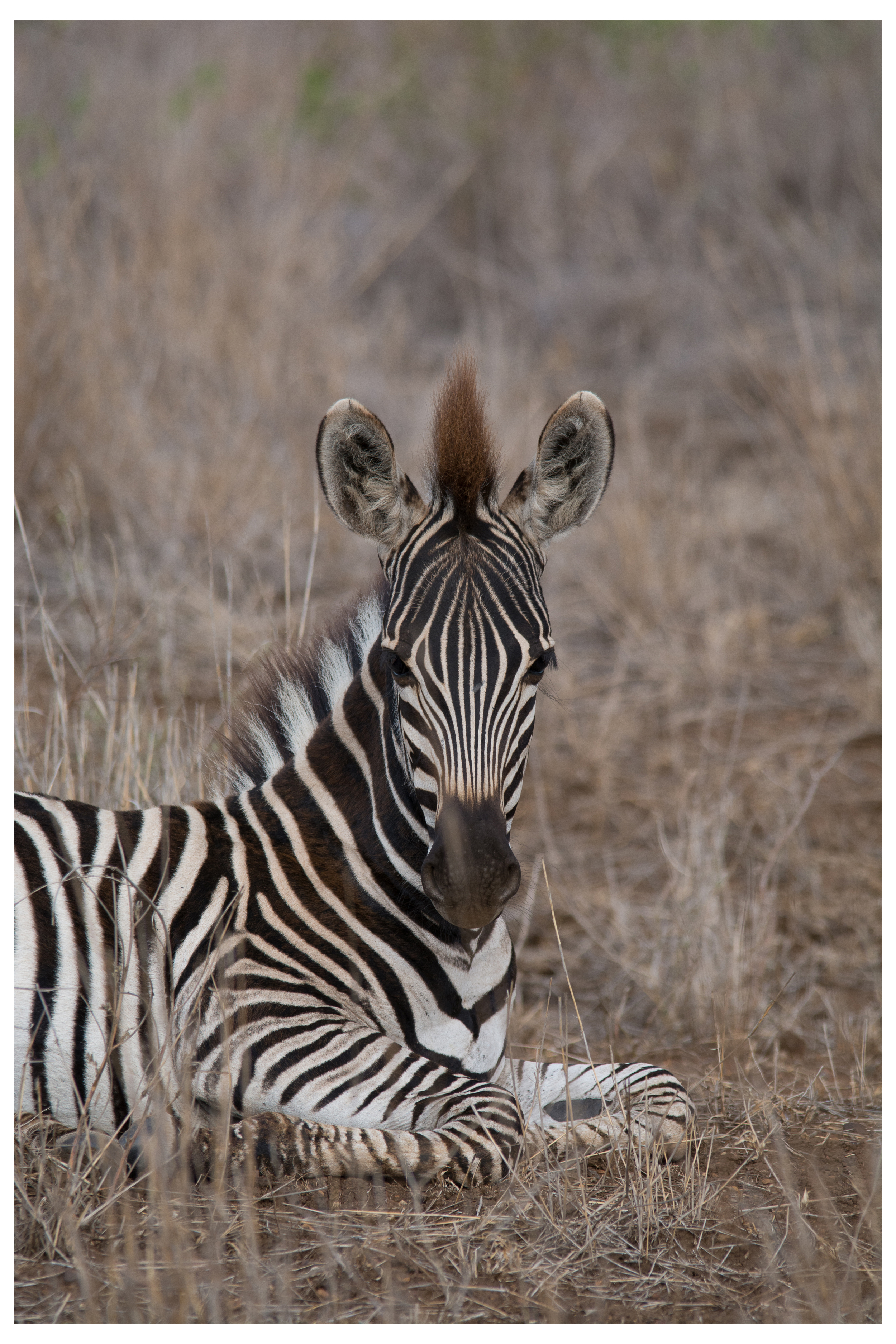 Burchells' Zebra