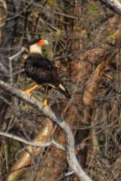 Zoomed in on Crested Caracara - about 1000ft away!