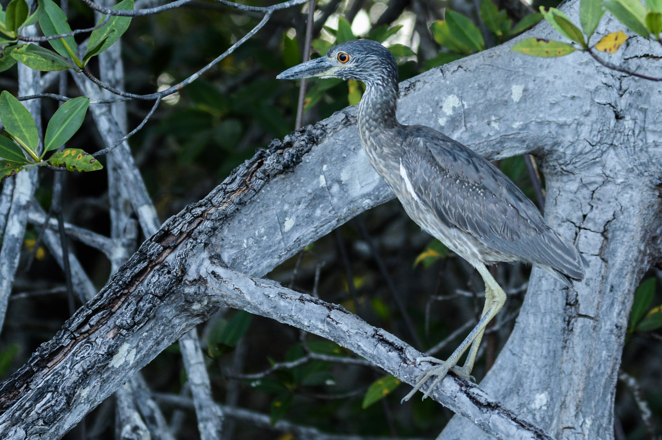 Juvenile Yellow-crested Night-Heron