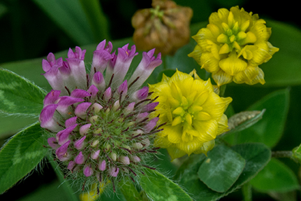 Red and Yellow Clover