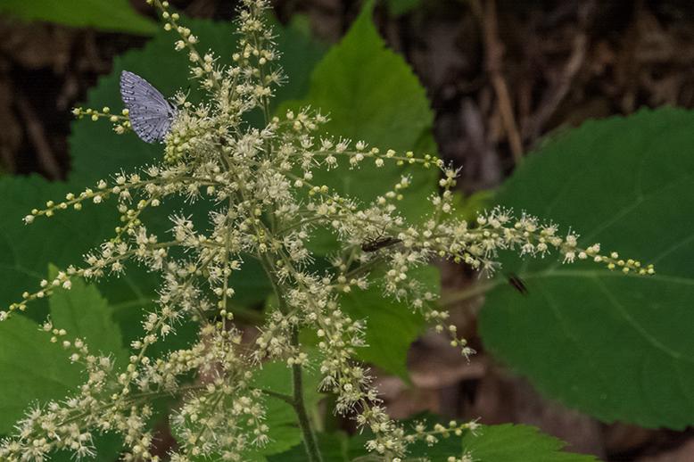 Spring Azure Butterfly on flower