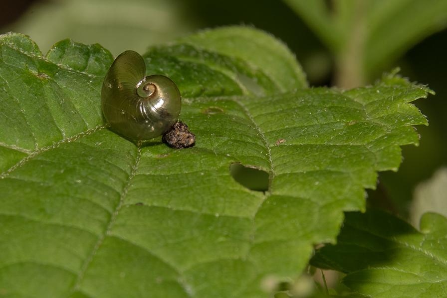 Empty snail shell on leaf