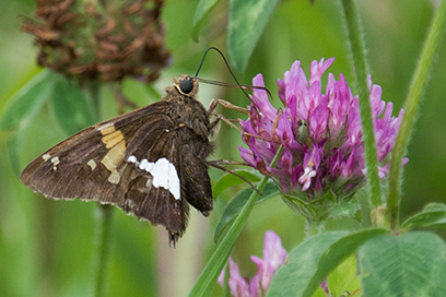 Silver-spotted Skipper on Pink Clover