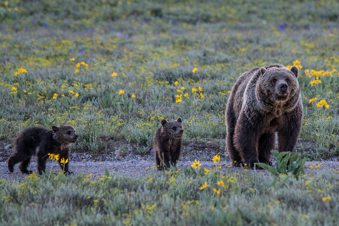 Grizzlies in Grand Teton NP