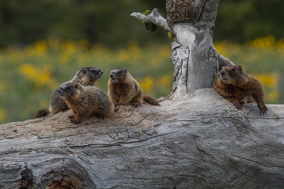 Marmots in Grand Teton NP